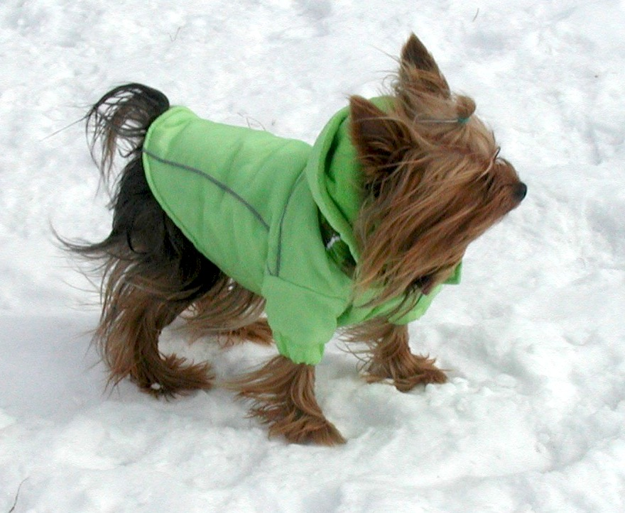 winter parka on yorkie in the snow