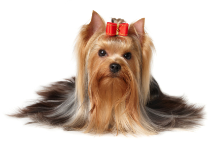 gorgeous long haired yorkie terrier