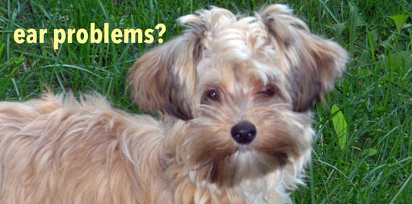 Ear problems and your Morkie