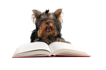 yorkie reading a book and yawning