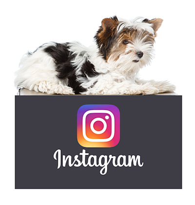 morkies-on-instagram