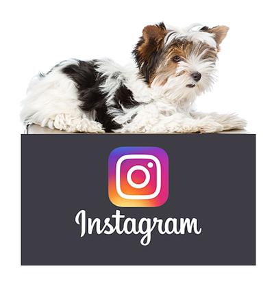 morkies-on-instagram