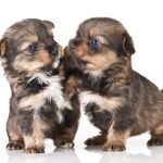 2 Morkie puppies