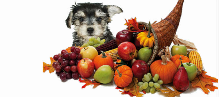 Happy Thanksgiving from the morkie