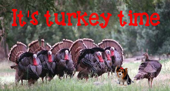 turkey time and your Morkie