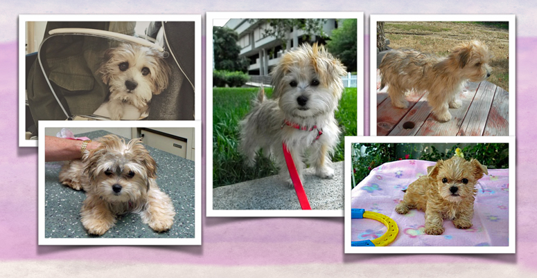 Morkie pictures in a collage