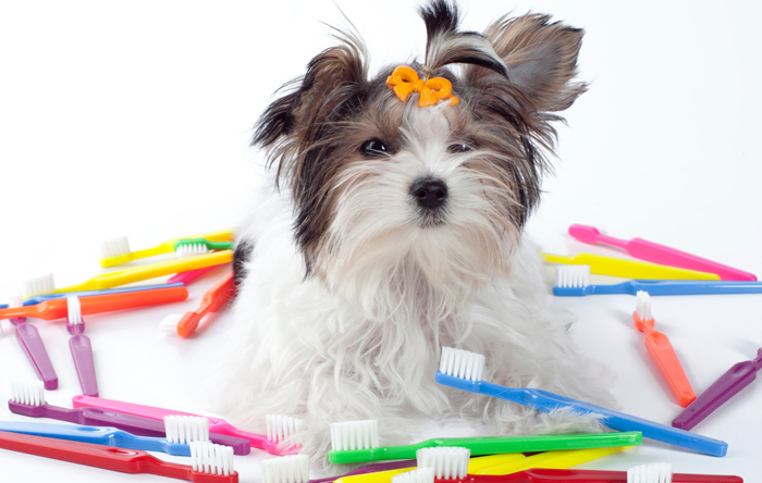 The OTHER single best thing you can do for your Morkie
