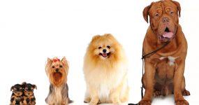 worlds-smallest-dog-worlds-biggest-dog