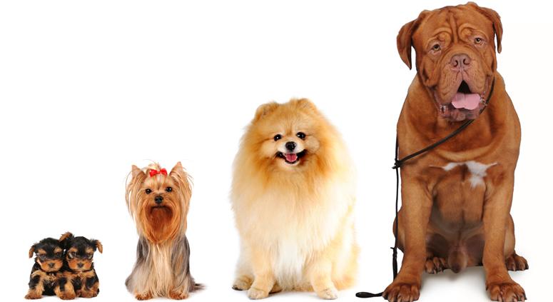 worlds smallest dog worlds biggest dog