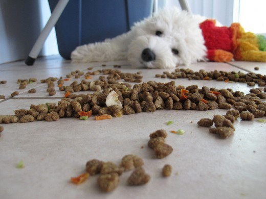 dog looking at kibble on the ground