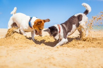 dogs digging in the sand