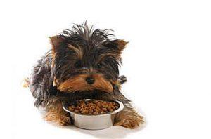 morkie eating dog food