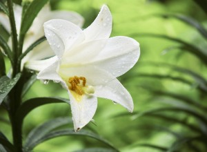 Easter lilies are poisonous to your pets