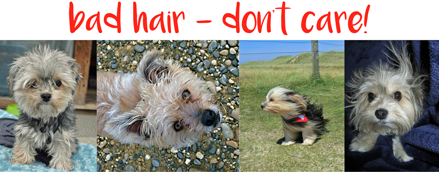 Bad hair, don't care says funny looking morkie