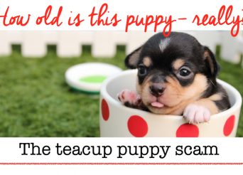 How old is this teacup puppy