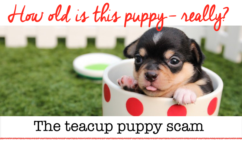 Watch out for this teacup Morkie scam