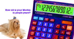 What's your Morkie's age in people years?