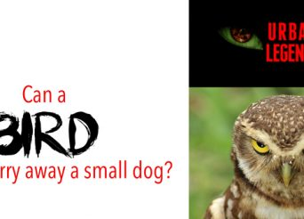 urban legends about hawks stealing dogs