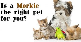 are you ready for a morkie?