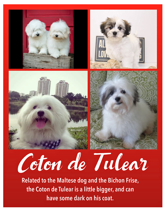 Coton de tulear, some pictures