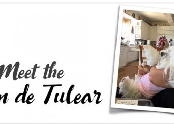 Meet the Coton de Tulear