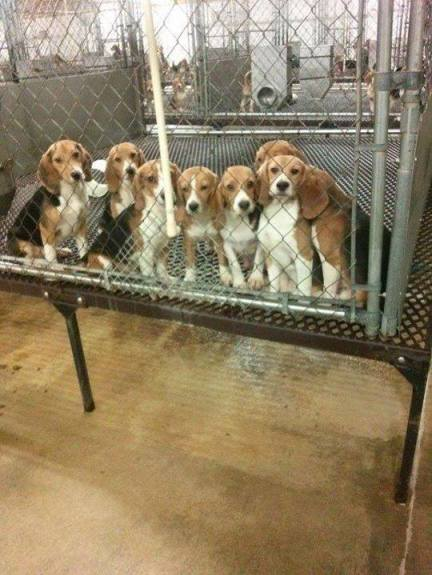 Beagles in testing lab