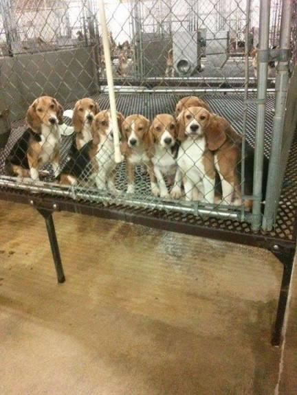 Beagles in testing lab