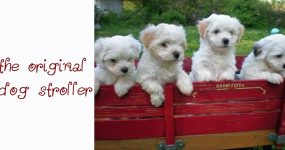 dogs in a red wagon