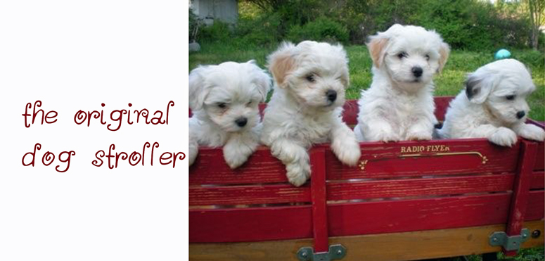 maltese dogs in a red wagon