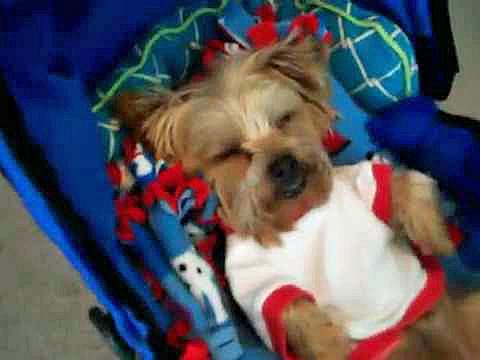 sleepy dog in stroller