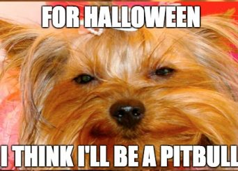 morkie as a pit bull