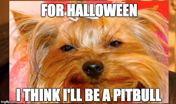 morkie thinks he will dress up as a pit bull