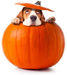 dog in a pumpkin