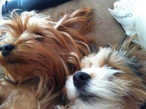 A little Yorkie and a Morkie dog sleeping together.