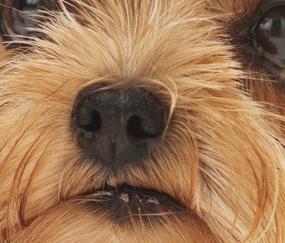 A Yorkshire Terrier's nose very close up, illustrating idea that a dogs sense of smell is far, far greater than ours.