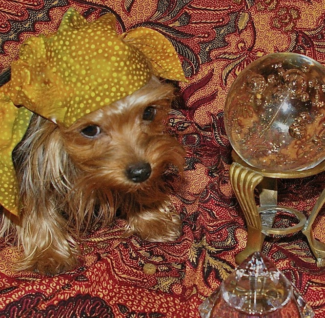 Little Yorkshire Terrier dressed as a gypsy fortune teller, waiting to to tell your fortune.