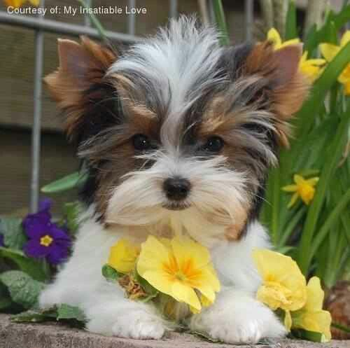 About Morkies Smart Affectionate Small Dogs That Don T Shed About Morkies