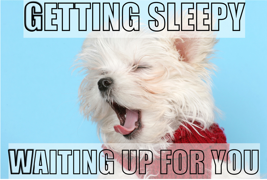 sleepy morkie puppy