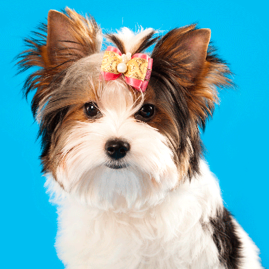 Adopt a Morkie - don't buy