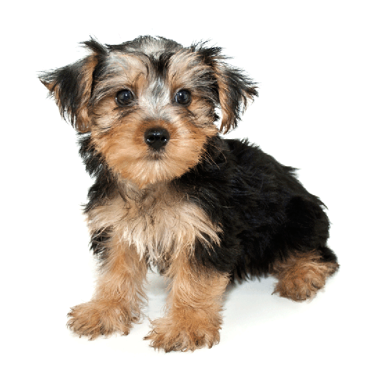 morkie puppy on a white background
