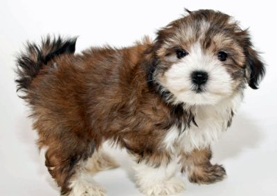 morkie puppy morkies chunky little guy