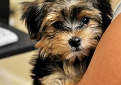 morkie puppy morkies snuggled into a chair