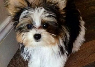morkie puppy morkies looking gorgeous
