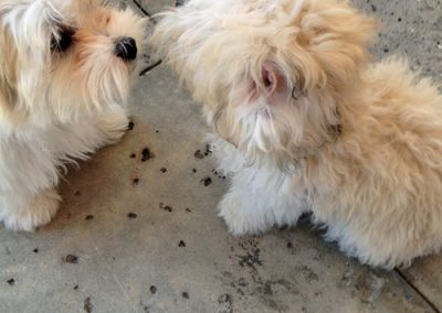 morkie puppy morkies kissing each other