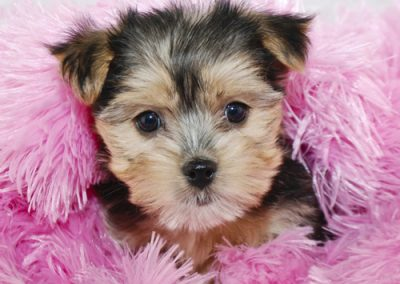 morkie puppy morkies jumping out of pink feathers
