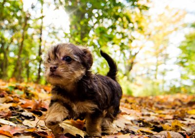 morkie puppy morkies playing in leaves