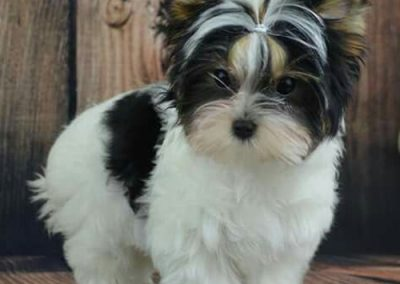 morkie puppy morkies perky looking guy