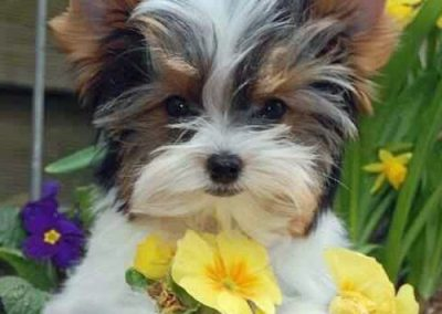 morkie puppy morkies sniffing a daffodil