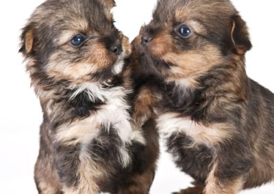 morkie puppy morkies pair greeting each other