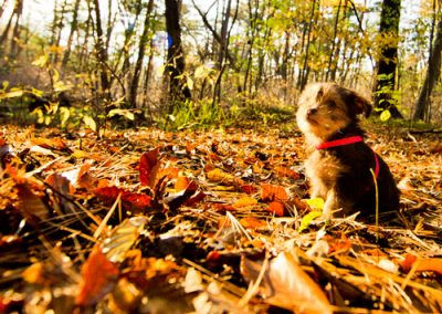 morkie puppy morkies out in the fall leaves